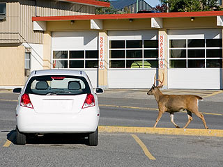 deer-car-drive-defensively