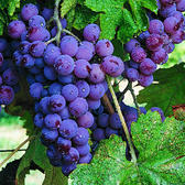 CityVille: Go gaga for new Grape crop, available for a limited time