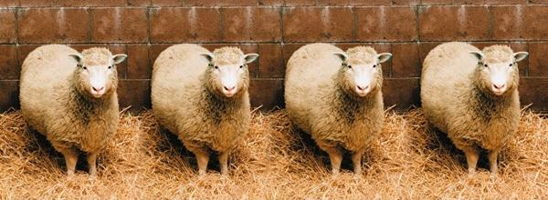 Sheep Cloning