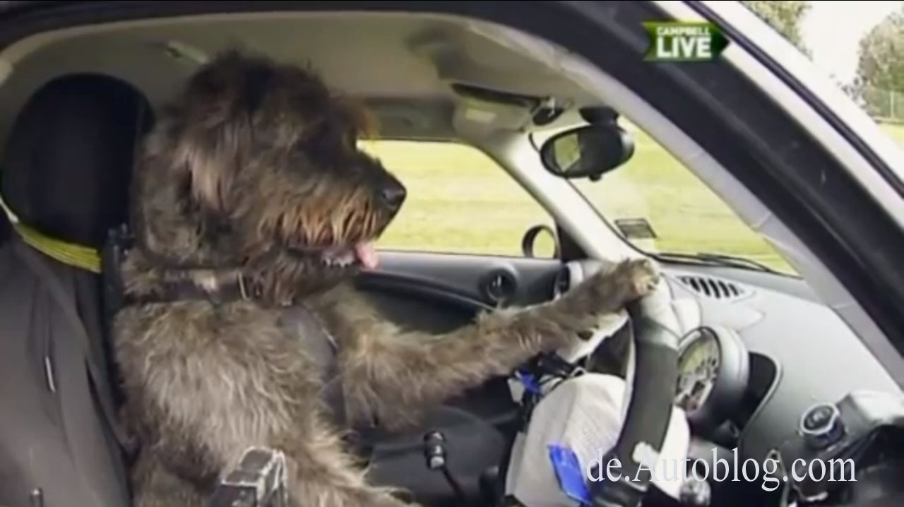 Hund, tierisch, lustig, auto fahren, hunde fahren Auto, Tier, video, komisch, witzig, dog drives, Humor,  