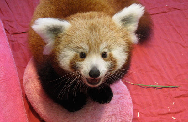 A firefox, or red panda