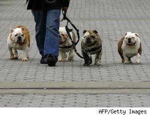a dog walker with 4 bulldogs