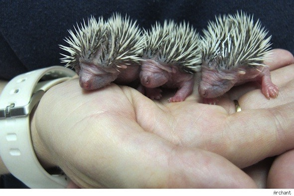 Baby Hedgehogs Rescued