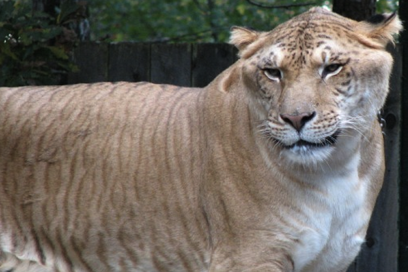 What is a Liger?