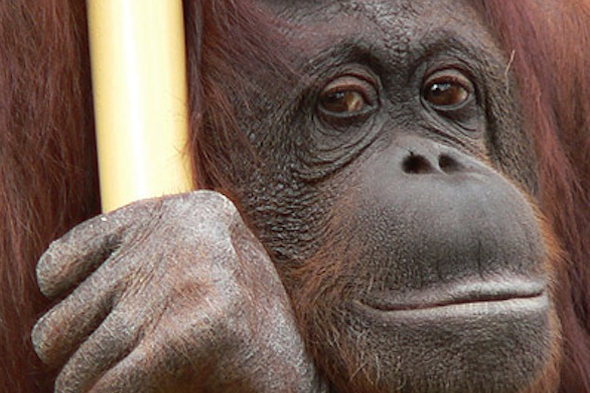 Oldest Orangutan Dies