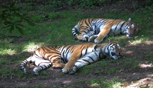 Tigers are the biggest kittens.