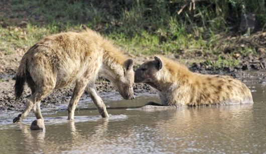 It's not symbolic.  It's aboyt hyenas.