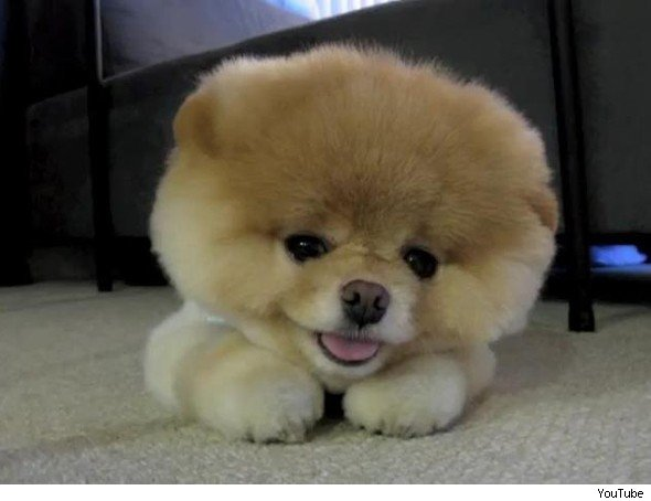 5. Boo the Pomeranian