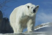 Norway recruits polar bear spotter