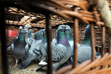 Belgian racing pigeon sells for £260k