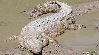 crocodile attack queensland australia