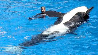 seaworld killer whale back in water