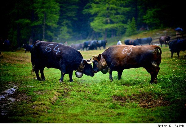 Swiss cow fighting match in the rain