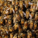 Man Dies Surrounded by 60,000 Bees in His Home