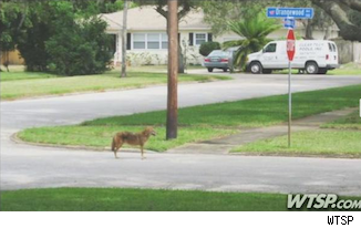coyotes in Clearwater Florida mansion