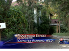 Coyotes in Abandoned Florida Mansion Have Neighbors on Edge