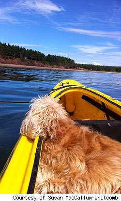 curly haired dog sitting is a yellow kayak on the water