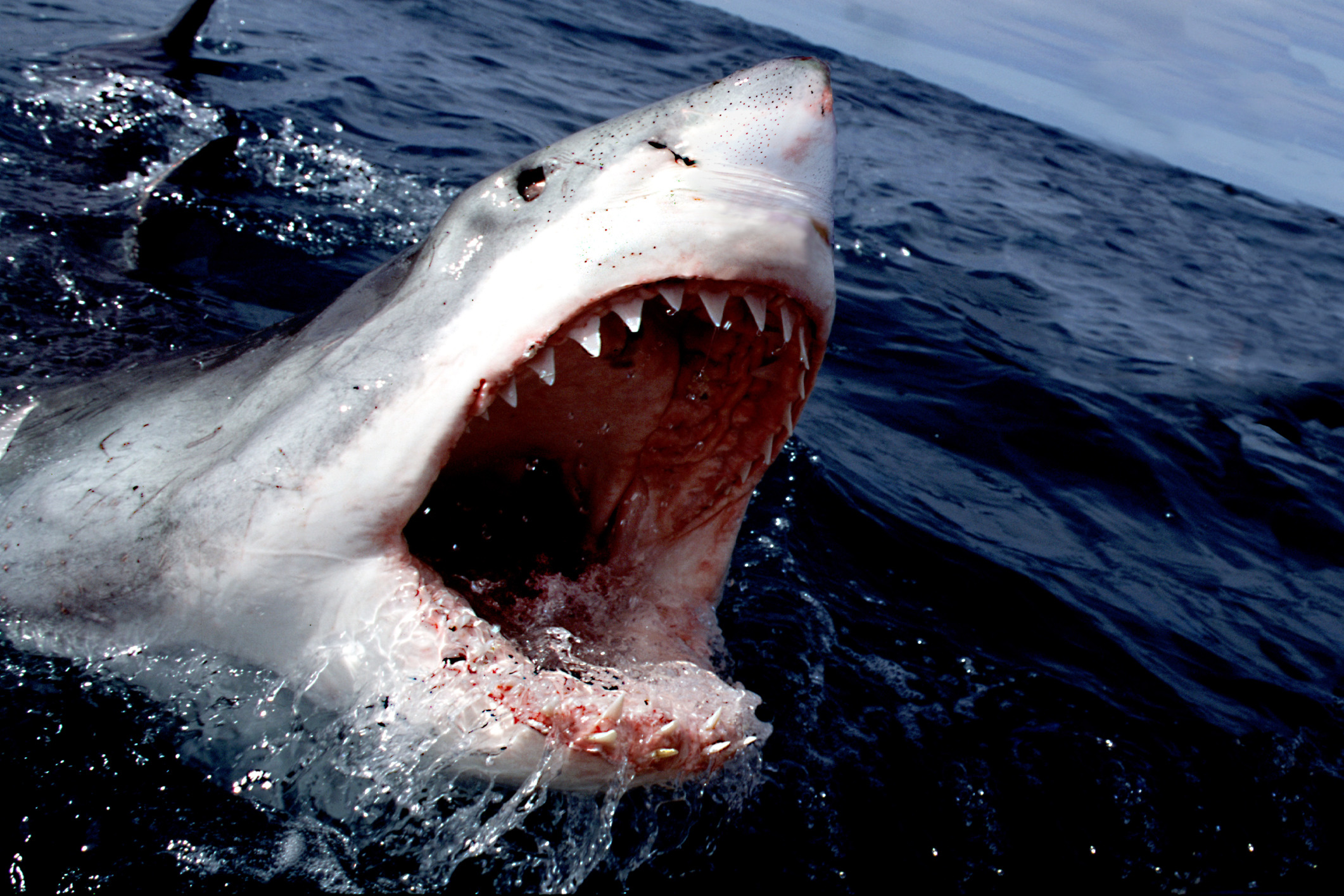 great white shark mouth size