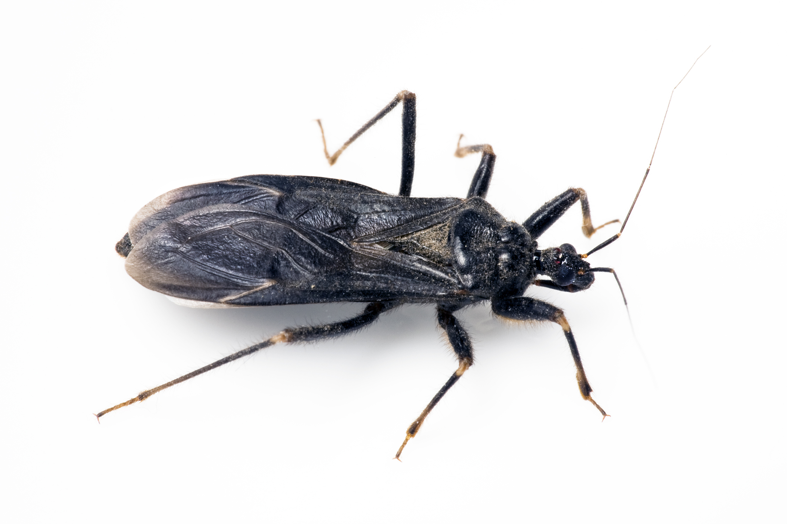 Kissing Bug Disease A Growing Concern In Us Aol News
