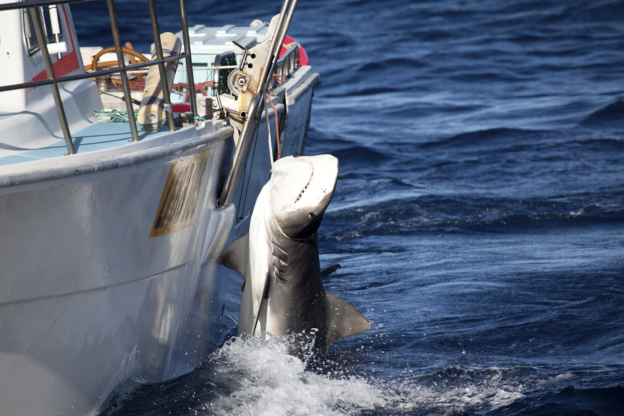 shark culling in australia Western australia's state parliament is due back on february 18, and premiere  colin barnett's shark cull is sure to dominate proceedings he.
