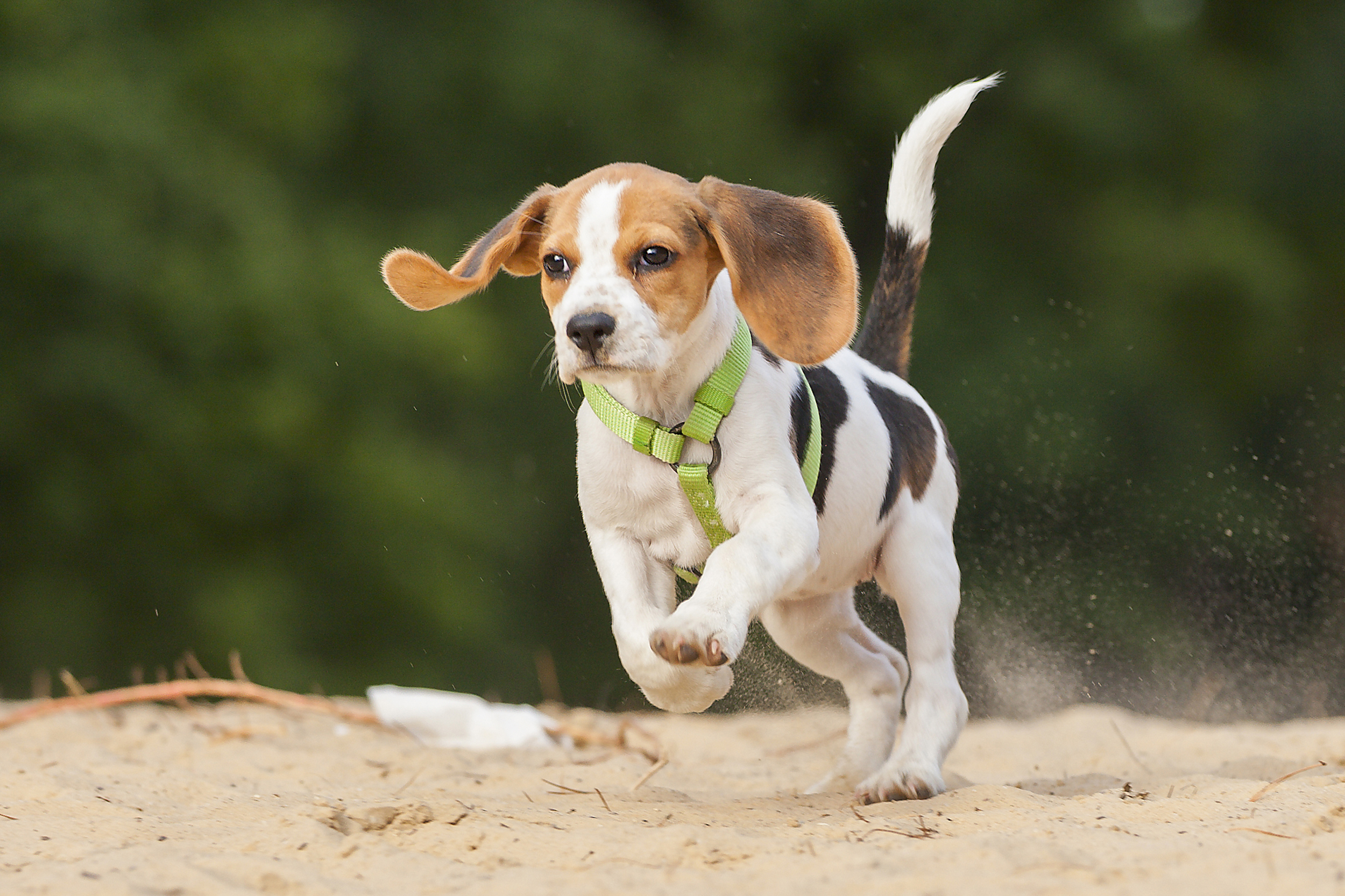 Beagle Running This Week in Cute: Ado...