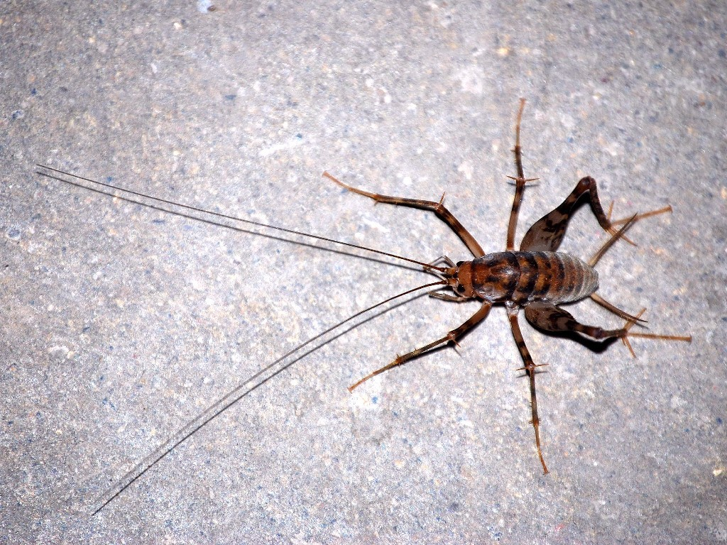 foreign crickets invade us basements aol news