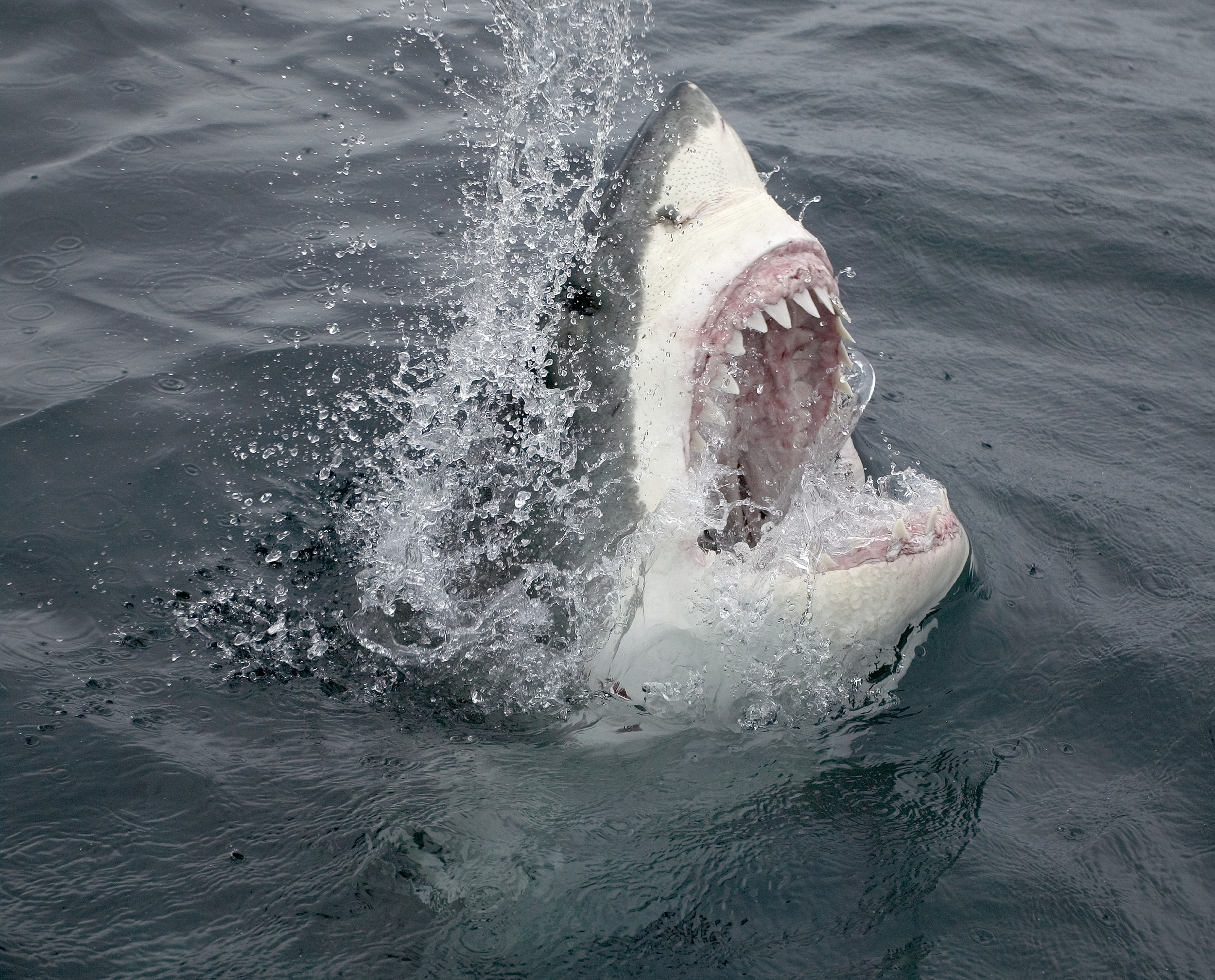 15 Great White Shark Facts That Will Shatter Your Assumptions