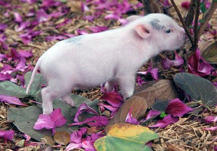 Little pig, little pig: Meet Gonzo, one of the teacup pigs available at Angel Enterprise Farm.