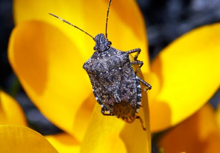 A bug's life: Stink bugs and other insects can cause just as much damage -- if not more -- than bedbugs.