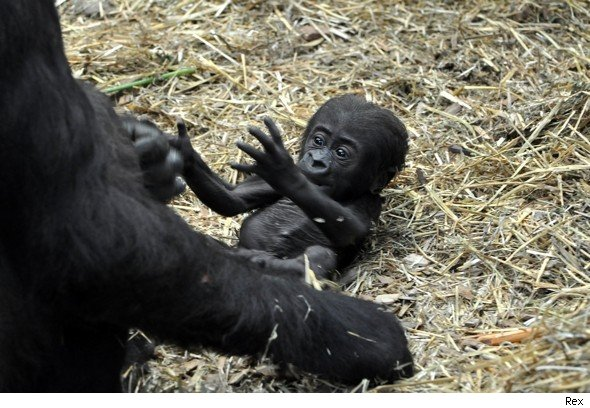 Gorillas Fighting To The Death The beautiful new baby gorillaGorillas Fighting With Lightsabers