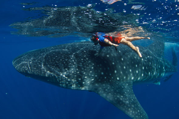 Giant Whale Shark http://travel.aol.co.uk/2011/09/19/five-year-old-boy-swims-with-giant-whale-shark/