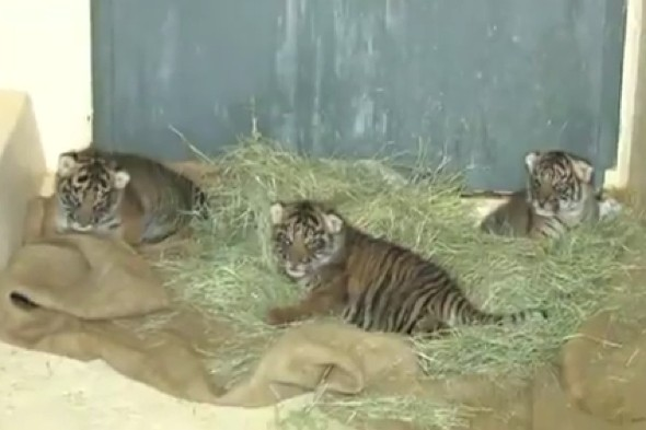One of LA Zoo's gorgeous new tiger cubs dies