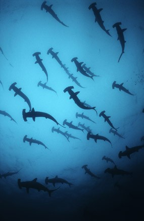 Scalloped hammerhead sharks, Costa Rica