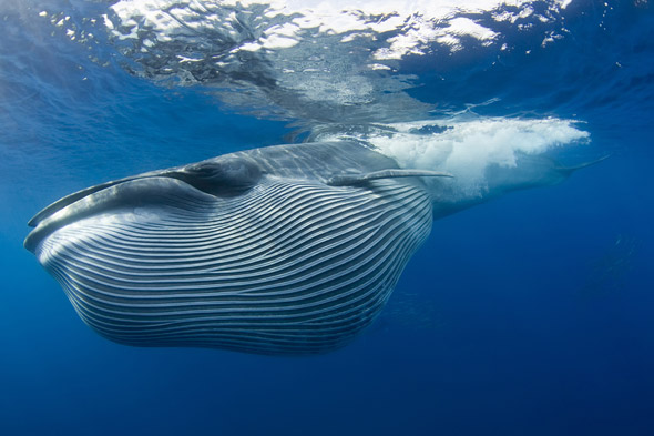 Bryde's whale, Baja California, Mexico