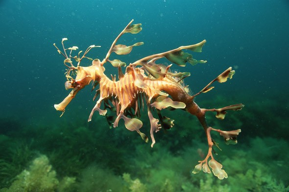 Leafy seadragon, Australia