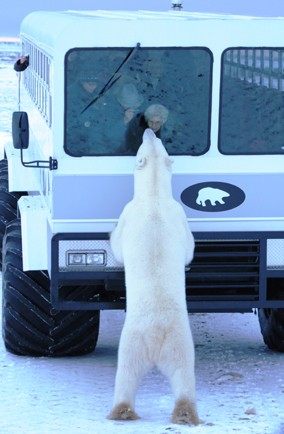 Get up close to polar bears in Canada