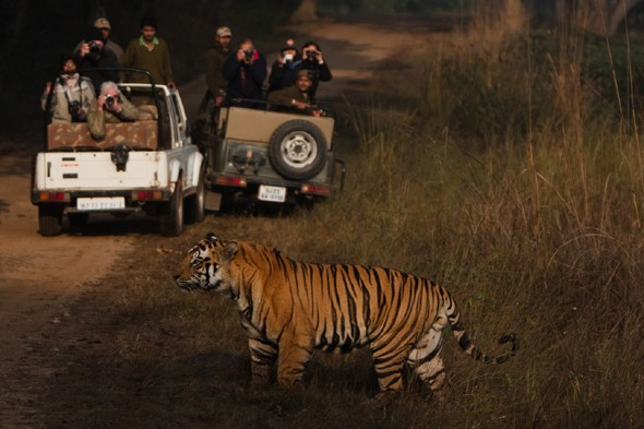 Search for exotic tigers on an Indian safari