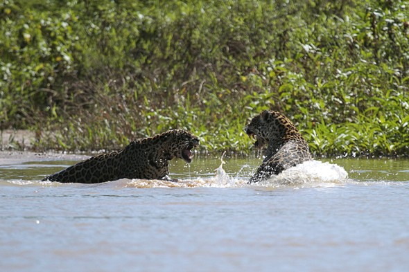 Track jaguars in Brazil on a South American safari