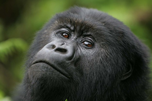 See the mountain gorillas of Rwanda