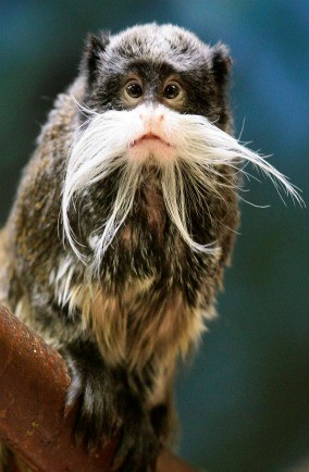 Emperor tamarin