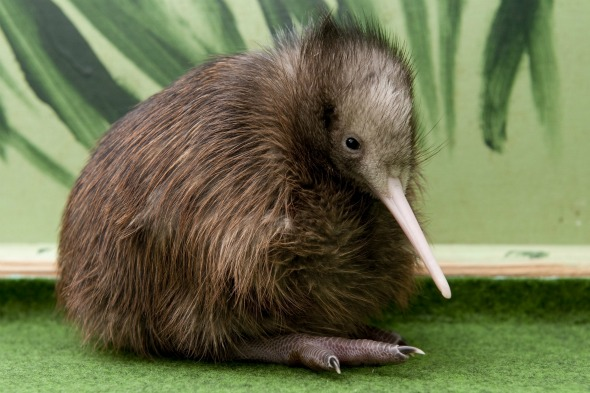 Kiwi, New Zealand