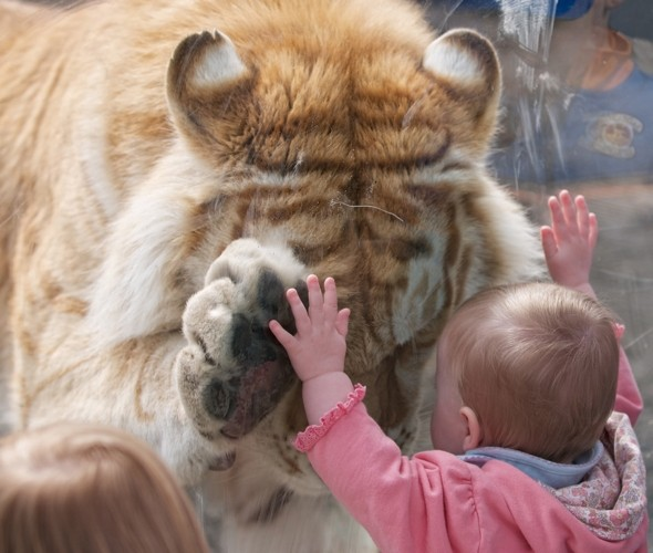 Tender tiger: Moment beautiful Bengal 'holds hands' with toddler