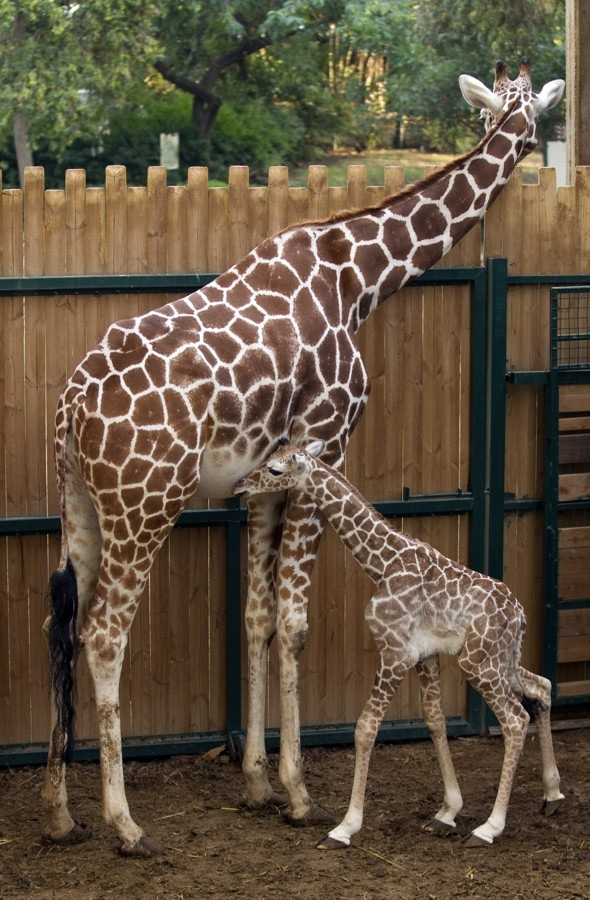 Safari park celebrates birth of gorgeous two-day-old giraffe