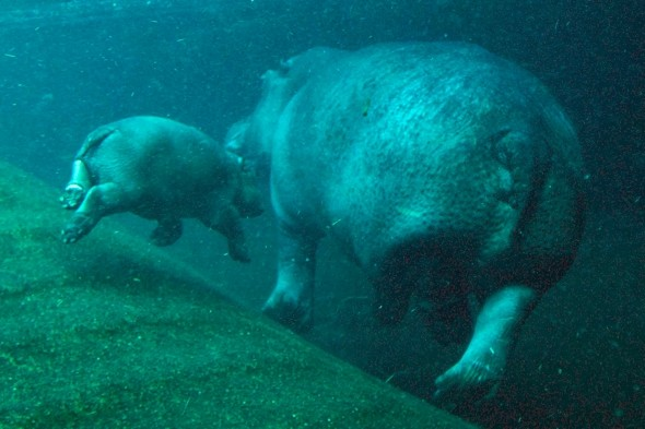 Swimming lessons! Baby hippo makes a splash during public debut at Berlin zoo