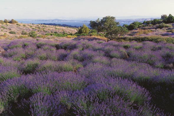 Take in Hvar's scents at the Lavender Festival