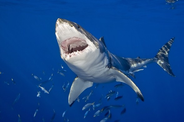 Is there a great white shark in the English Channel?