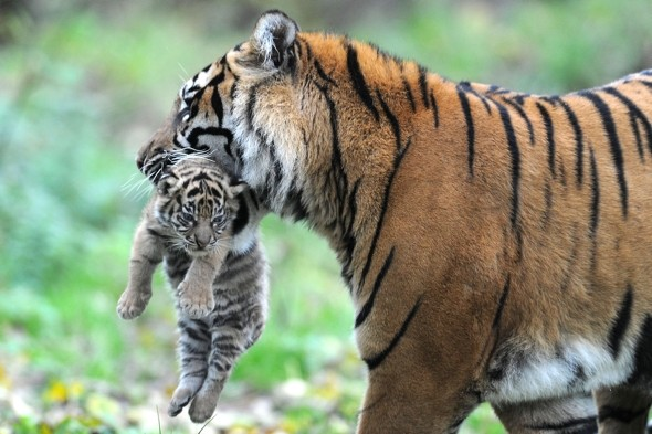 Stunning Sumatran tiger cub makes debut at Chester Zoo