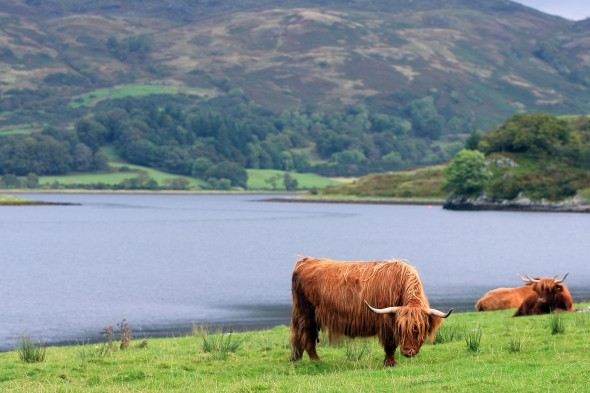 Don't drink while in possession of a cow in Scotland