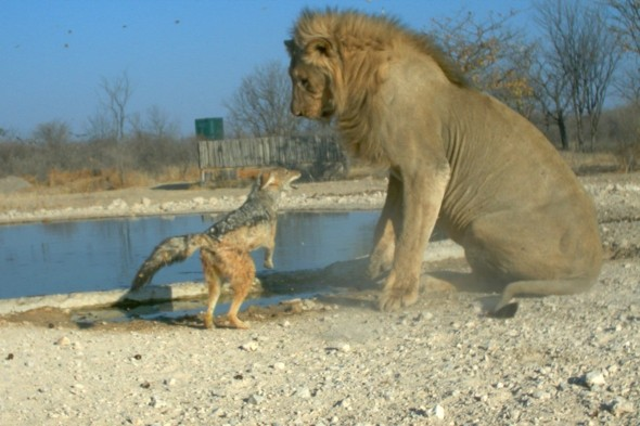 Is that such a good idea?Jackal 'picks fight' with huge lion at African game park