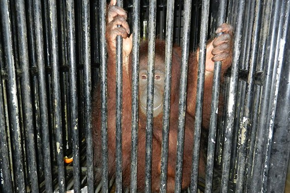 Shock revelation: the plight of Orangutans in Malaysian zoos